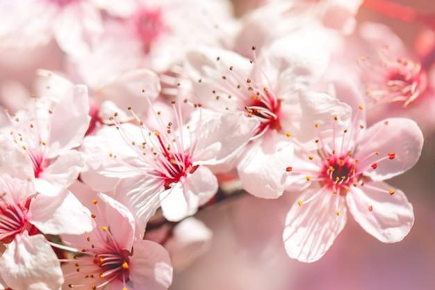 Morelowe Drzewo Na Wiosnę Z Pięknymi Kwiatami. Prace Ogrodowe. Selektywne Ustawianie Ostrości. Premium Zdjęcia