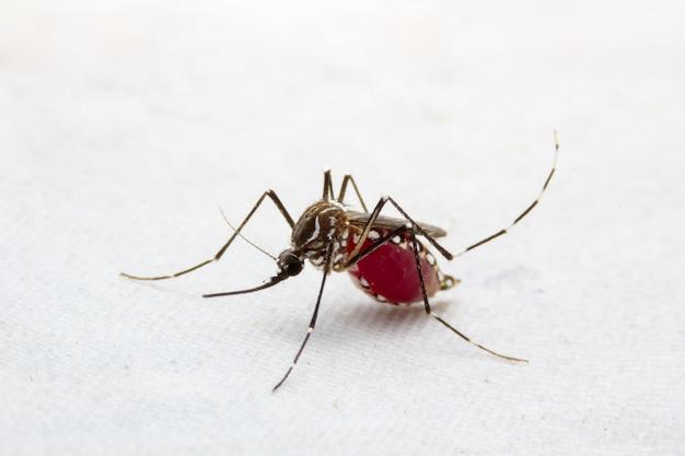 Mosquito Jest Nosicielem Malarii / Zapalenia Mózgu / Dengi Premium Zdjęcia