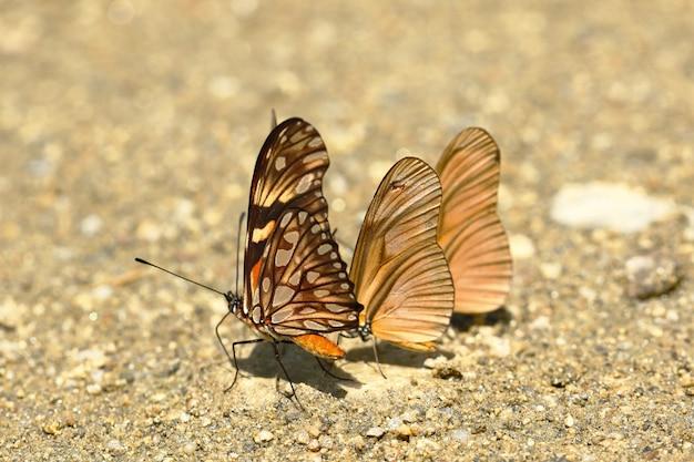 Motyl (dione Juno I Dryas Julia) Na Wilgotność Gleby Premium Zdjęcia