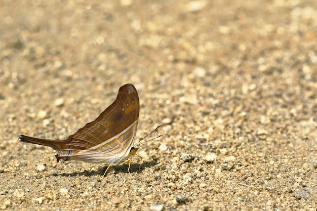 Motyl (marpesia Chiron) Na Wilgotności Gleby Premium Zdjęcia