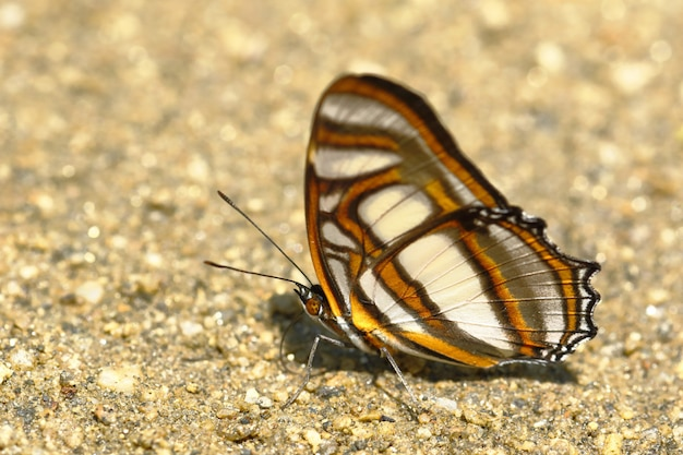 Motyl (metamorpha Elissa) Na Wilgotność Gleby Premium Zdjęcia