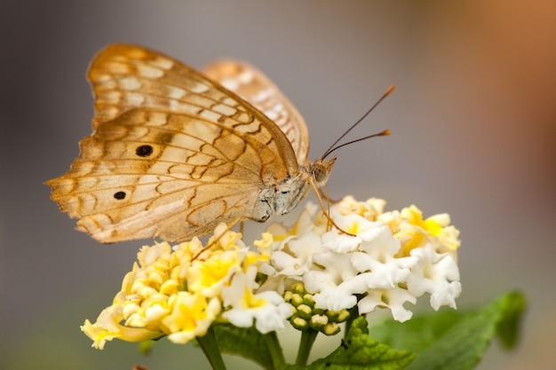 Motyl Na Kwiacie Lantana Premium Zdjęcia