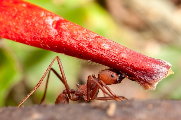 Mrówka Do Cięcia Liści Niosąca Kawałek Czerwonego Kwiatu - Atta Premium Zdjęcia