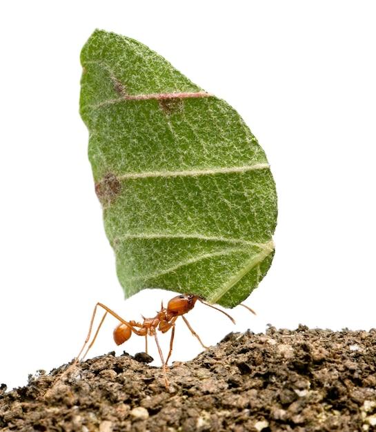 Mrówka Do Liści, Acromyrmex Octospinosus, Niosąc Biały Liść Jonowy Na Białym Tle Premium Zdjęcia