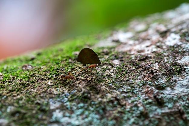 Mrówka Niosąca Liście Na Drzewie Premium Zdjęcia