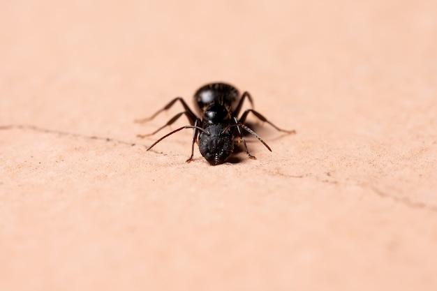 Mrówka Stolarska Z Rodzaju Camponotus Premium Zdjęcia
