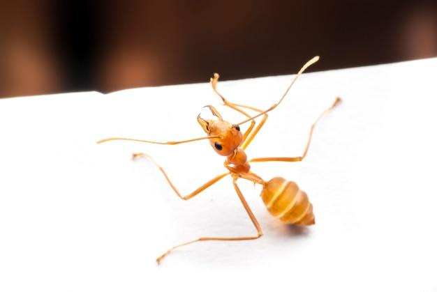 Mrówka Z Bliska. Premium Zdjęcia
