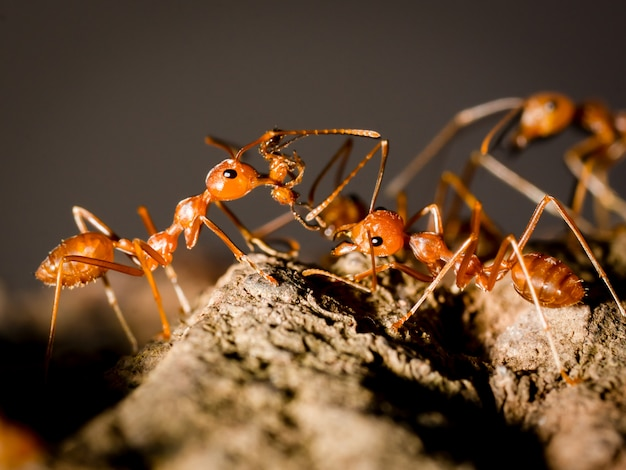 Mrówki Niosą Jedzenie I Spacery Na Drzewie W Naturze Na Czarnym Ciemnym Tle Premium Zdjęcia