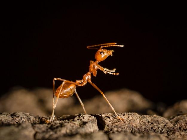 Mrówki Odprowadzenie Na Drzewie W Naturze Na Czarnym Ciemnym Tle Premium Zdjęcia