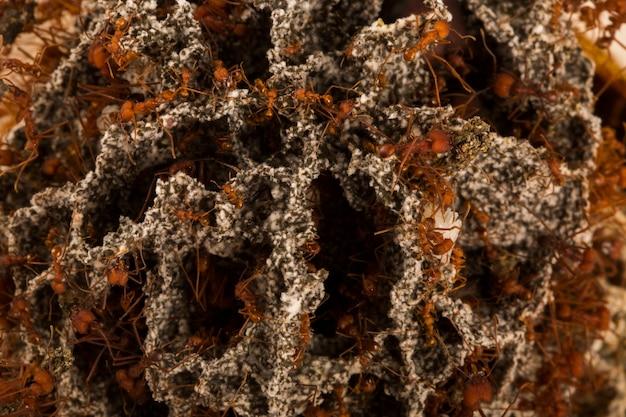Mrówki W Podziemnym Gnieździe. Premium Zdjęcia