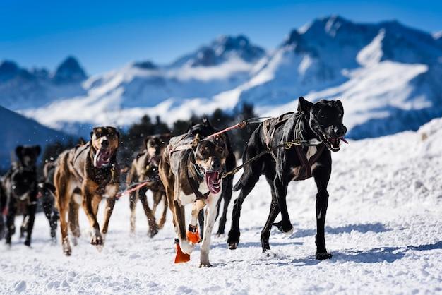 Musher Dogteam Driver I Siberian Husky W Wyścigu Konkurencji Zimowych śniegu W Lesie Premium Zdjęcia