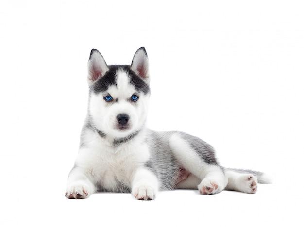 Na Białym Tle Portret Szczeniaka Husky Syberyjski Z Urodzenia Niebieskie Oczy, Odpoczynek. Zabawny Pies Ze Zrelaksowanym, Po Aktywności. Darmowe Zdjęcia