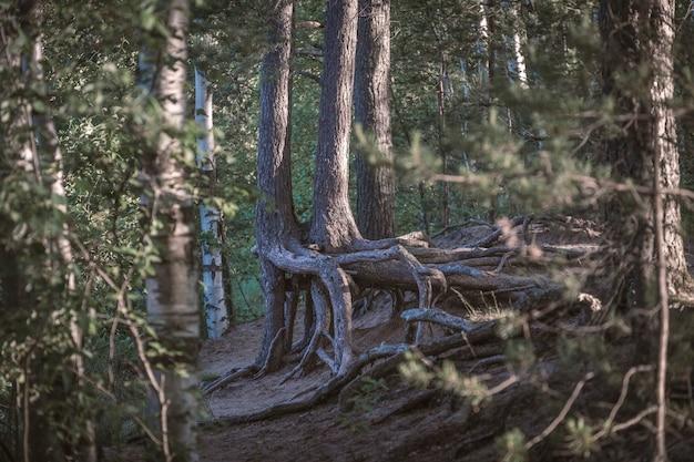 Nagie Korzenie Drzew W Lesie Premium Zdjęcia