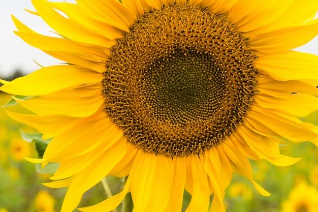 Nasiona Słonecznika Posadzone Do Produkcji Nasion. Premium Zdjęcia