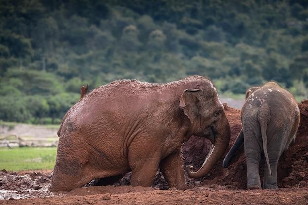 Natura Słoń W Lesie Tajlandia Premium Zdjęcia