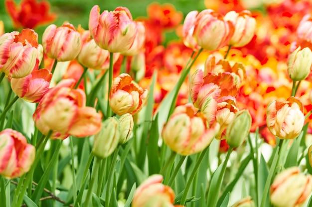Naturalne Tło Wiosennych Kwiatów Kwitnących. Pole Czerwonych Tulipanów. Premium Zdjęcia