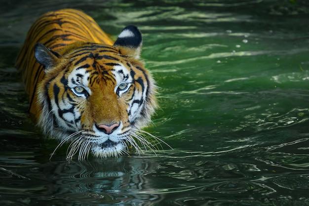 Naturalnie Zdjęcia Tygrysa. Premium Zdjęcia