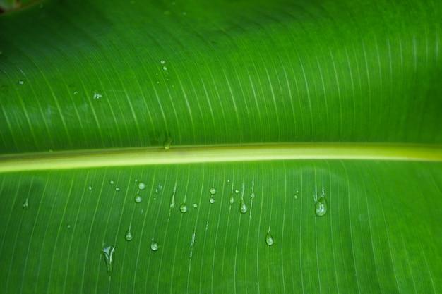 Naturalny Zielony Liść Bananowy Z Pięknem Waterdrops I świeżym Tłem Premium Zdjęcia