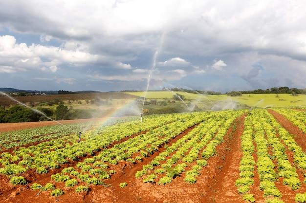Nawadnianie Na Plantacjach Sałaty Premium Zdjęcia