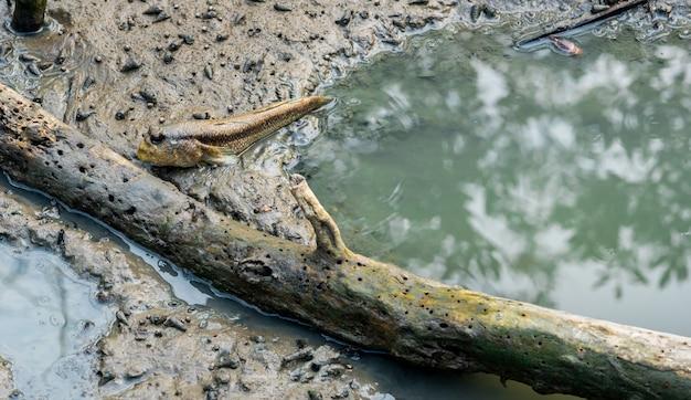 Niebieski Cętkowany Mudskipper (boleophthalmus Boddarti) W Mudflats W Pobliżu Starego Martwego Drewna Premium Zdjęcia