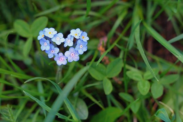 Niebieskie Małe Niezapominajki W Kształcie Serca Na Tle Zielonej Trawy. Premium Zdjęcia
