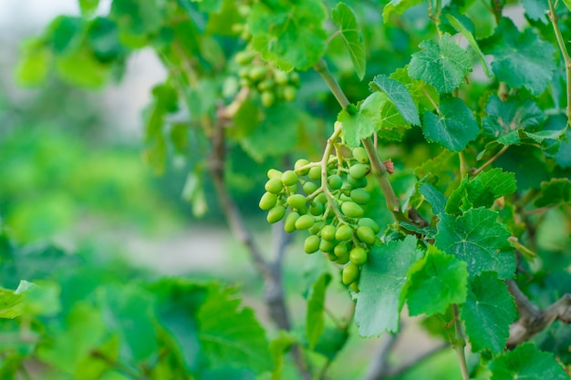 Niedojrzałe Owoce Winogron Na Widok Z Boku Winorośli Na Gard Darmowe Zdjęcia
