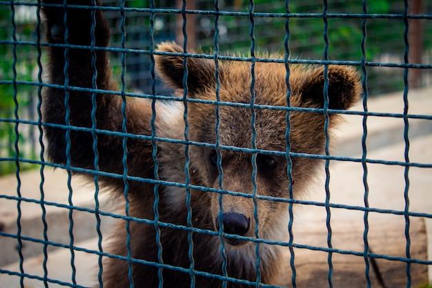 Niedźwiadek w klatce Premium Zdjęcia
