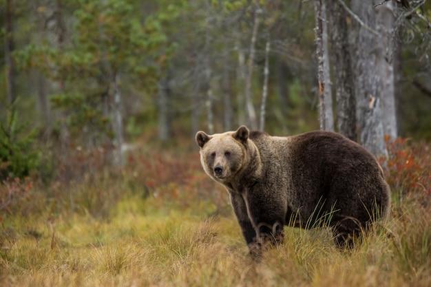 Niedźwiedź Brunatny Do Lasu Premium Zdjęcia