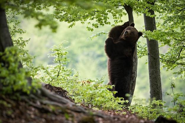 Niedźwiedź Brunatny Stojący Na Tylnych Nogach I Drapający Się Po Drzewie Premium Zdjęcia