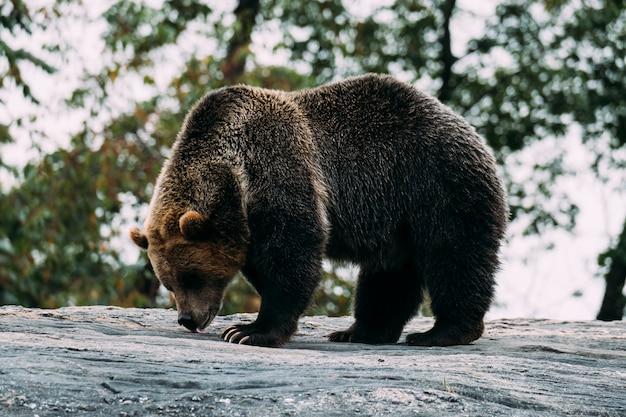 Niedźwiedź Brunatny W Zoo Bronx. Nowy Jork Premium Zdjęcia