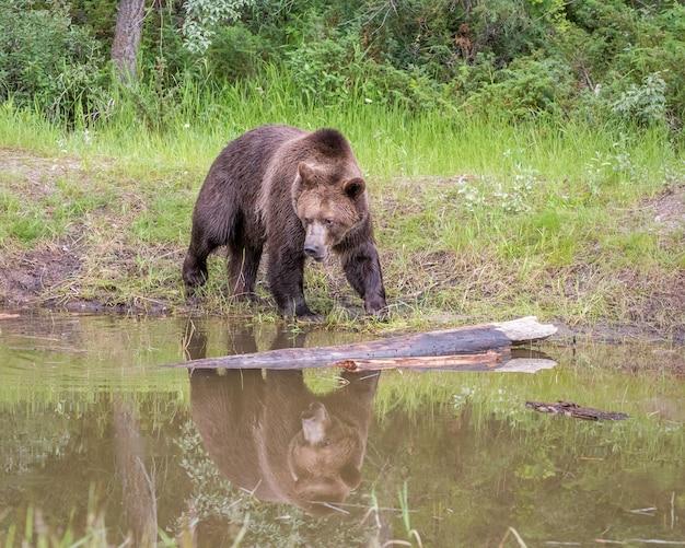 Niedźwiedź Grizzly Idący Wzdłuż Rzeki Z Odbiciem Premium Zdjęcia