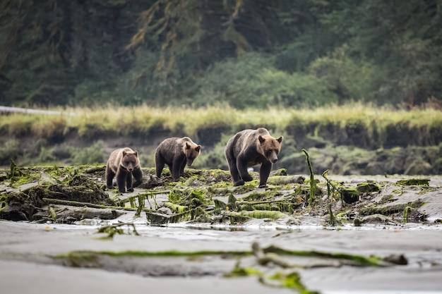 Niedźwiedź Grizzly W Lesie Premium Zdjęcia