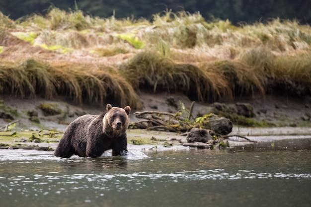 Niedźwiedź Grizzly W Rzece Premium Zdjęcia