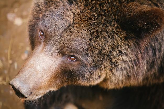Niedźwiedź Grizzly Premium Zdjęcia