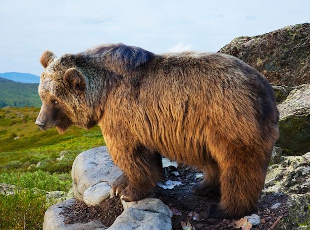 Niedźwiedź Na Kamieniu W Obszarze Dzikości Darmowe Zdjęcia
