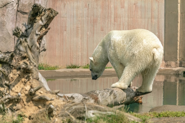 Niedźwiedź Polarny Stojący Na Gałęzi Drzewa Otoczony Wodą W Słońcu W Zoo Darmowe Zdjęcia