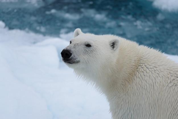 Niedźwiedź Polarny (ursus Maritimus) Z Bliska Premium Zdjęcia