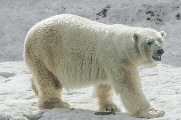 Niedźwiedź Polarny (ursus Maritimus) Premium Zdjęcia