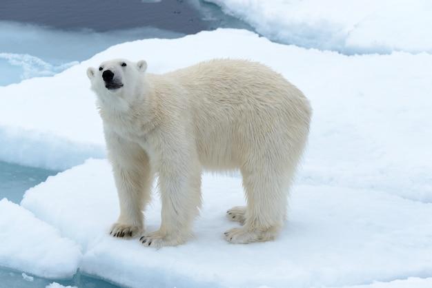 Niedźwiedź Polarny Premium Zdjęcia