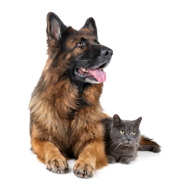Niemiecki pasterz i kot Premium Zdjęcia