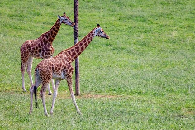 Niesamowite duże żyrafy Premium Zdjęcia