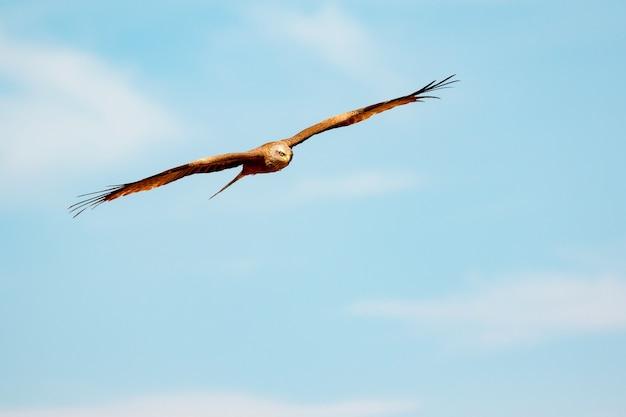 Niesamowite Ptaki Drapieżne W Locie Zdjęcie Premium Pobieranie