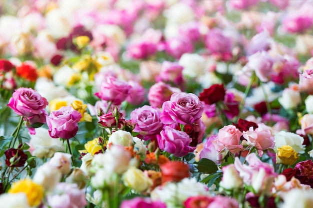 Niesamowite Wielokolorowe Róże, Kwiaty W Ogrodzie Premium Zdjęcia