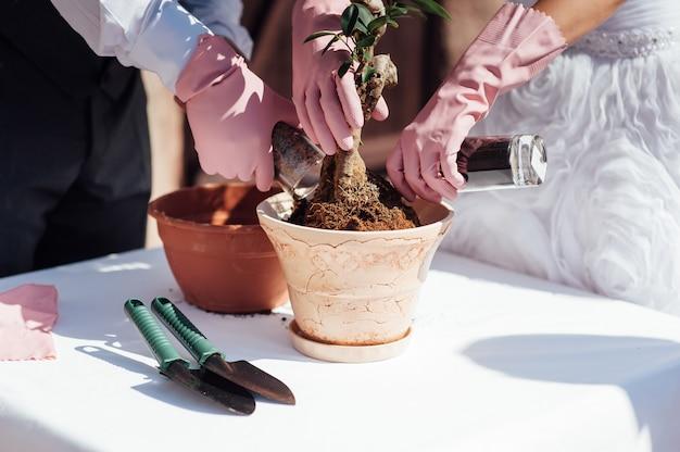 Nowożeńcy Sadzi Małe Drzewo Do Małej Doniczki Premium Zdjęcia