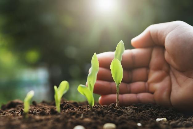 Ochrona rąk młodych roślin kukurydzy w gospodarstwie. Premium Zdjęcia