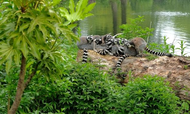 Ogoniasty Lemury W Parku Narodowym Na Madagaskarze. Premium Zdjęcia