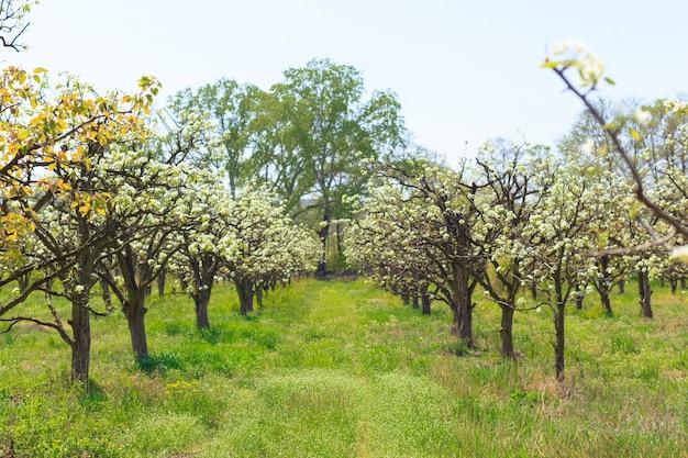Ogród apple z kwitnącymi drzewami Premium Zdjęcia