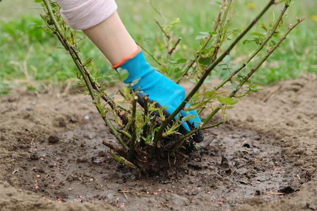 Ogrodnictwo wiosenne, ogrodniczka w rękawiczkach z narzędziami ogrodowymi Premium Zdjęcia