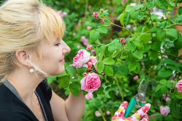 Ogrodnik przycina nożyce do róż herbaty. selektywne skupienie. Premium Zdjęcia