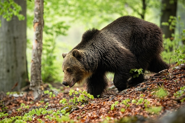 Ogromny Niedźwiedź Z Długim Brązowym Futerkiem Biegnącym W Lesie W Lecie. Premium Zdjęcia